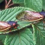 Periodical cicadas manipulate the populations of birds that eat them. Credit: ARS/USDA