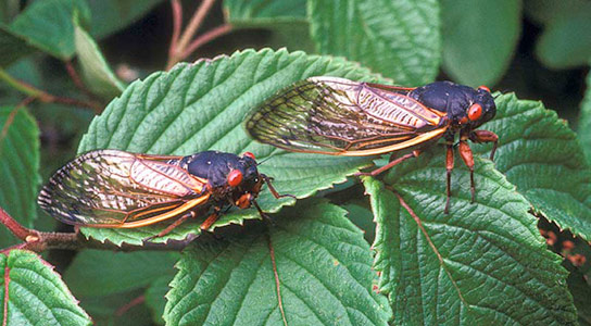 Periodical cicadas manipulate the populations of birds that eat them