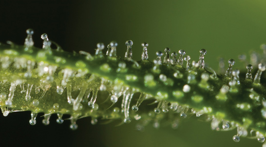 close-up-of-thc-resin-cannabis
