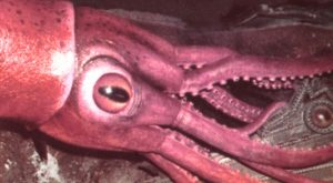 colossal-squid-eyes