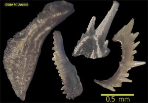 conodont-teeth-udo-savalli