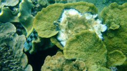 coral in the Great Barrier Reef is strongly affected by the Black Band Disease