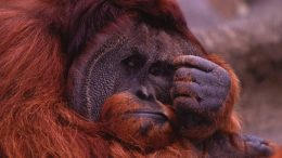 depressed-orangutan