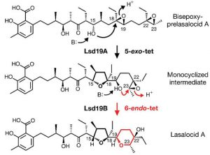 diagram illustrates the two-step process by which the protein Lsd19 catalyzes