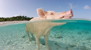 domestic-pig-water