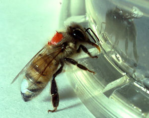 dopamine play a role in personality variations among bees