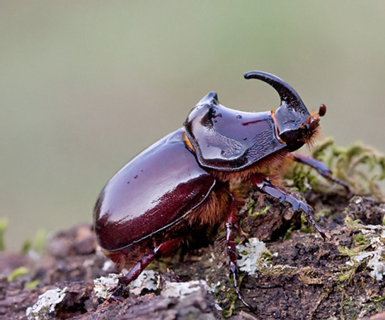 european-rhinoceros-beetle