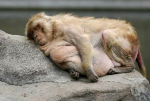 fat-rhesus-monkey-sleeping