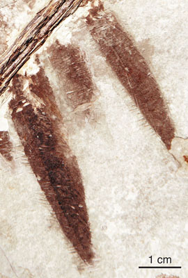 Dinosaurs Jurassic Microraptor Feathers Were Black with Iridescent Sheen Feather-imprints-on-the-Microraptor-fossil