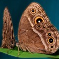 female butterflies can be taught to prefer mates with more spots on their wings