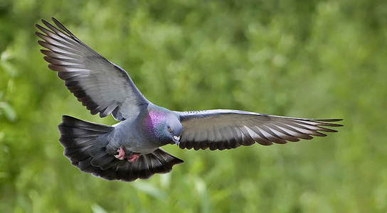 feral-pigeon-in-flight