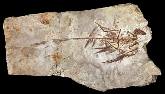 Dinosaurs Jurassic Microraptor Feathers Were Black with Iridescent Sheen Fossilized-Microraptor-specimen
