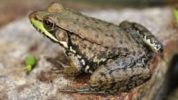 frogs hold clues to deadly pathogen