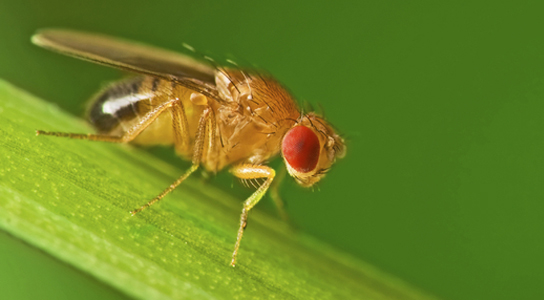 A male fruit fly (Drosophila melanogaster) Credit: Jan Polabinski/iStockphoto
