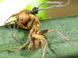 fungus-ant-infection-carpenter