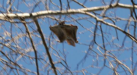 Flying Squirrels Can Adjust Speed and Flight Dynamically