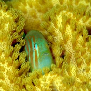goby-fish