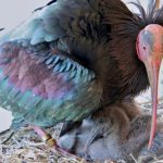 goja-bald-northern-ibis