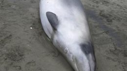 gray-beaked-whale