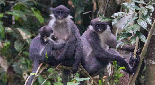 grizzled-langur-monkey-group-eric-fell