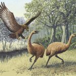 haasts-eagle-two-moa