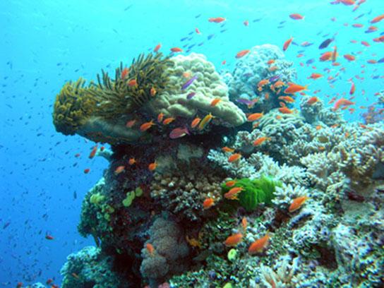 healthy coral reef in the Great Barrier Reef