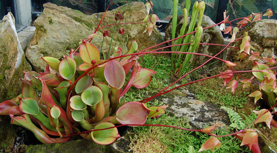 Pitcher Plant's Ingenious Ways of Trapping Ants