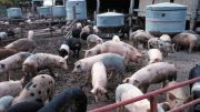 hog-farm-odor-blood-pressure