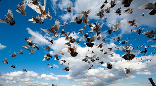 homing-pigeons-china