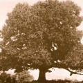 huge-american-chestnut
