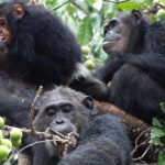 humans and chimpanzees share the same three distinct communities of bacteria in their guts