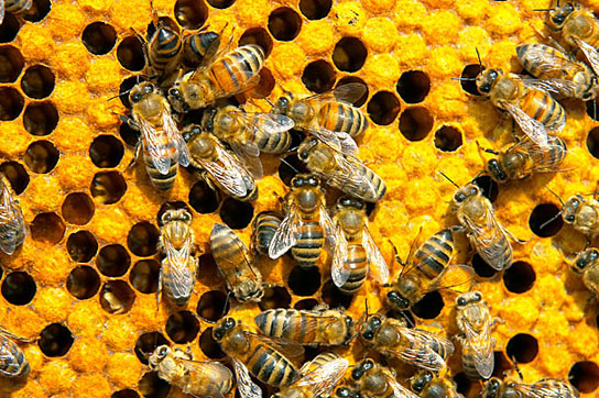 imidacloprid, one of the most widely used pesticides, tied to bee collony collapse