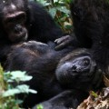 The Hormone Oxytocin in Chimpanzees is Likely to Play a Key Role in Maintaining Social Relations