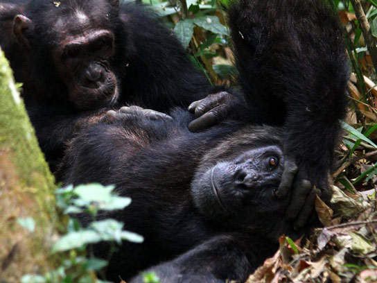 in-chimpanzees-the-hormone-oxytocin-is-likely-to-play-a-key-role-in-maintaining-social-relations