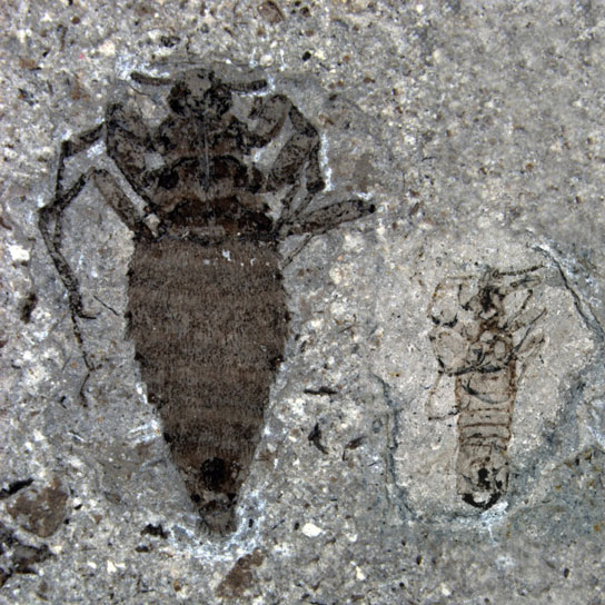 jurassic-cretaceous-flea-comparison