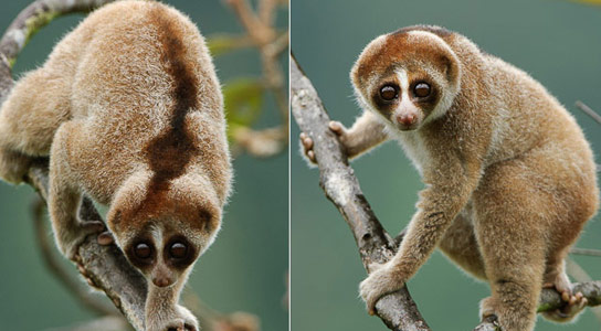 Kayan Loris, A Newly Discovered Species of Slow Loris