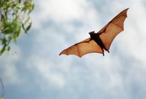 large-fruit-bat