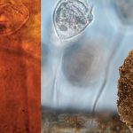 (Left) Teardrop-shaped protozoan trapped in the wall of an egg case produced by a leech between 200 million and 215 million years ago. (Right) Vorticella, an extant genus of protozoans. (Inset) Egg case produced by Hirudo medicinalis, the medicinal leech. Credit: Benjamin Bomfleur; (inset) Hans Kerp/Muenster University