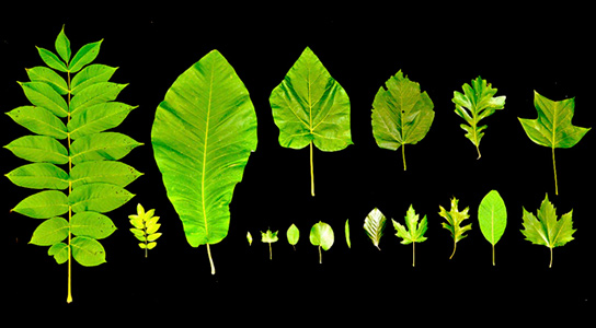 The leaves of angiosperm trees vary wildly in size, but the range of size narrows among taller trees. Credit: K. Jensen/Harvard University and M. Zwieniecki/UC Davis
