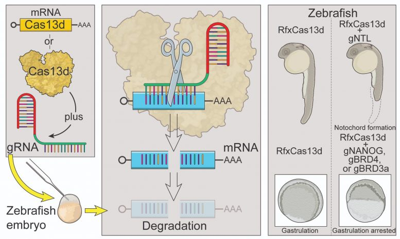 mRNA Knock-Down Technologies
