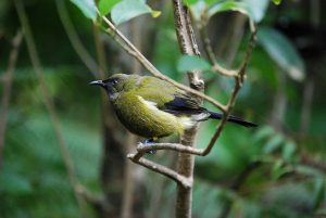 male-anthornis-melanura-bellbird