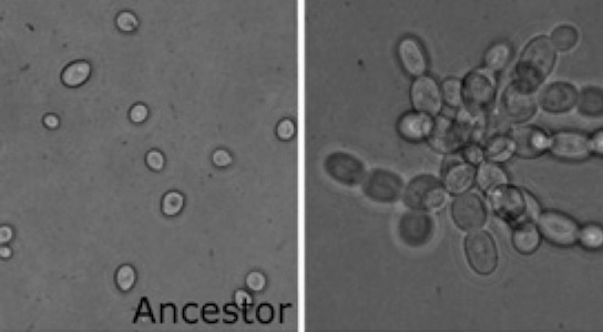 multicellular-yeast-developing