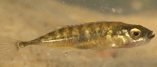 Stickleback Fish Used Pre-Existing Genes to Go from Saltwater to ...
