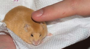 obese-baby-mouse-mouselet