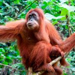 Sumatran orangutans may form ideas about tools long before using them. Credit: iStockphoto/Thinkstock