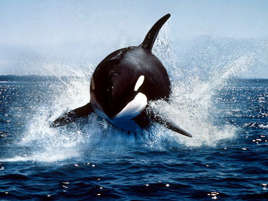 orca-jumping-out