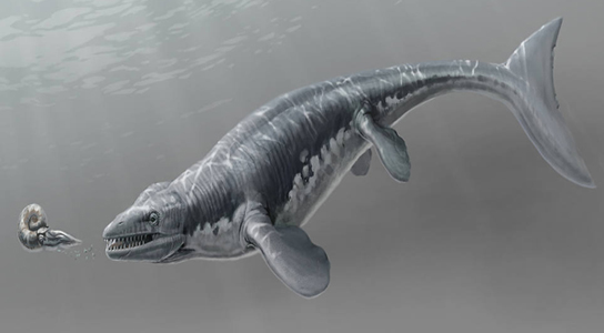 Discovered in August 2010, the mosasaur Platecarpus was a marine lizard, like most other mosasaurs so far discovered. Credit: Illustration by Stephanie Abramowciz, NHM Dinosaur Institute