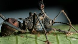 parasite that fights the zombie-ant fungus