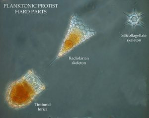 planktonic-protist-hard-parts