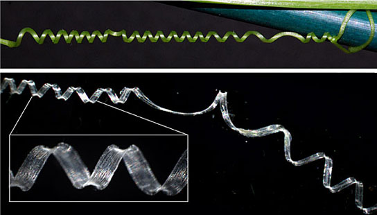 plant's tendrils leads researchers to unusual spring